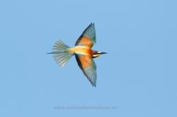 Bee-eater (Merops apiaster). La Rioja, Spain