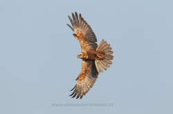 Marsh harrier (Circus aeruginosus). Female. La Rioja, Spain