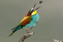 Bee-eater (Merops apiaster). Spain