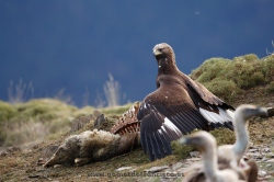Golden eagle (Aquila chrysaetos) feeding on a chamois. Pyrenees, Spain