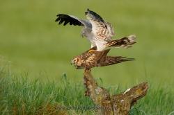 Montagu´s harrier (Circus pygargus) mating. Spain