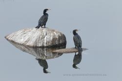 Cormoranes grandes (Phalacrocorax carbo). P Natura Sierra de Andújar, Jaén