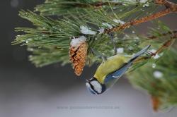 Herrerillo común (Cyanistes caeruleus). La Rioja