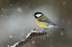 Great tit (Parus major). La Rioja, Spain