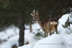 Roe deer (C. capreolus), male