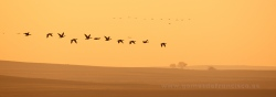Greylag geese (Anser anser) at sunrise. Villafáfila Nature Reserve, Zamora (Spain)