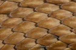 Detalle de escamas de culebra bastarda (Malpolon monspessulanus). La Rioja