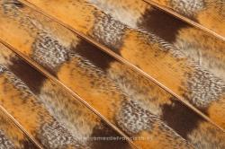 Wing of barn owl (Tyto alba)