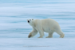 Polar bear (Thalarctos maritimus). Svalbard