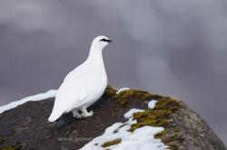 Ptarmigan (Lagopus mutus). Iceland
