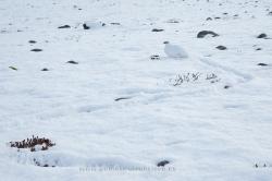 Perdiz nival (Lagopus mutus), macho. Islandia