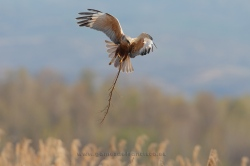 Marsh harrier (Circus aeruginosus). Male. La Rioja, Spain
