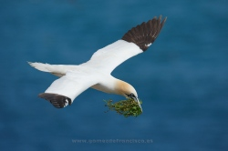 Alcatraz (Morus bassanus). Irlanda