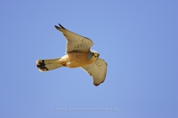 Lesser kestrel (Falco naumanni). Male. Valladolid, Spain