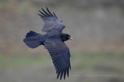 Cuervo (Corvus corax). La Rioja