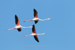 Greater flamingo (Phoenicopterus ruber). Ebro Delta, Spain