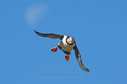 Puffin (Fratercula arctica). Norway
