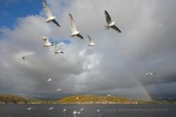 Herring gulls (Larus argentatus). Norway