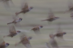 Tree sparrows (Passer montanus). Gallocanta Lake, Spain
