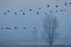Cranes (Grus grus). Gallocanta Lake, Spain