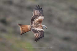 Red kite (Milvus milvus). La Rioja, Spain
