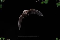 Murciélago de cueva (Miniopterus schreibersi). Vizcaya