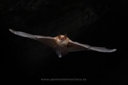 Murciélago ratonero pardo (Myotis emarginatus). Vizcaya
