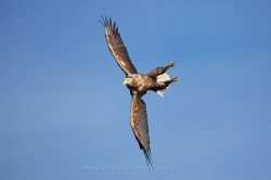 White-tailed eagle (Haliaeetus albicilla). Norway
