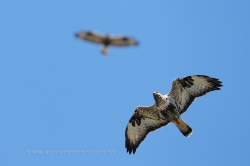 Rough-legged buzzard (Buteo lagopus). Norway