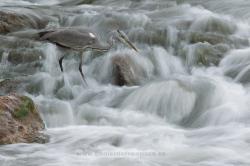 Grey heron (Ardea cinerea). La Rioja, Spain