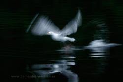 Herring gull (Larus argentatus). Norway