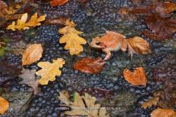 Common frog (Rana temporaria) on eggs in a pond. Urkiola Natural Park, Álava
