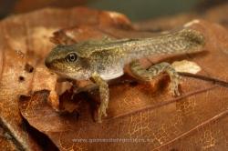 Common frog (Rana temporaria). Pyrenees, Huesca, Spain
