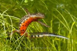Bosca´s newt (Lissotriton boscai), male. Ciudad Real, Spain