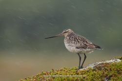Bar-tailed godwit (Limosa lapponica), female. Norway