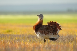 Great bustard (Otis tarda). Spain