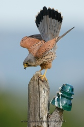 Kestrel (Falco tinnunculus), male. Ciudad Real, Spain