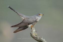 Cuckoo (Cuculus canorus). La Rioja, Spain