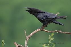 Raven (Corvus corax). La Rioja, Spain
