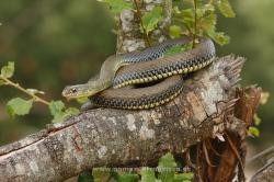 Western Montpellier snake (Malpolon monspessulanus). Álava, Spain