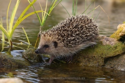 Western hedgehog (Erinaceus europaeus). La Rioja, Spain