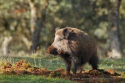 Wild boar (Sus scrofa). Sierra de Andújar Natural Park, Spain