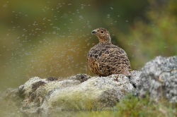 Ptarmigan (Lagopus mutus), female. Iceland