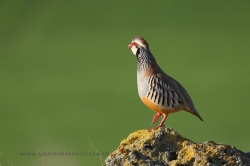 Red-legged partridge (Alectoris rufa). Navarra, Spain