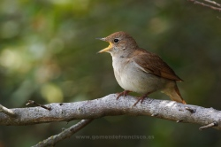Nightingale (Luscinia megarhynchos). La Rioja, Spain