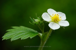 Fragaria vesca. Navarra, Spain