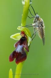 Ophrys insectifera. Álava