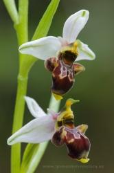 Ophrys scolopax. Álava