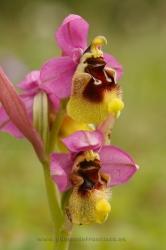 Ophrys tenthredinifera. Álava