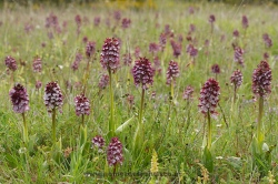 Orchis purpurea. Álava, Spain